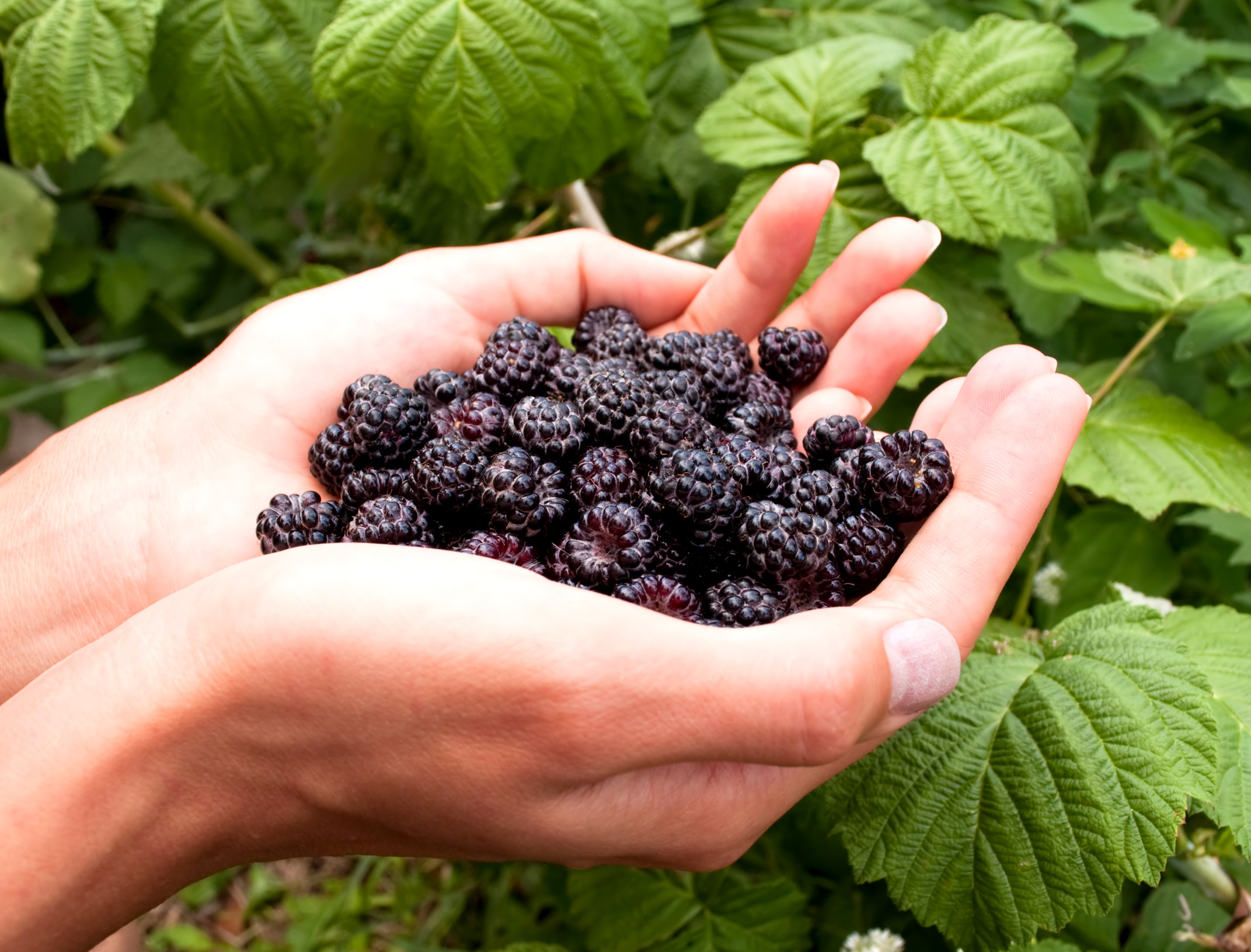 Food Blackberry Recipe