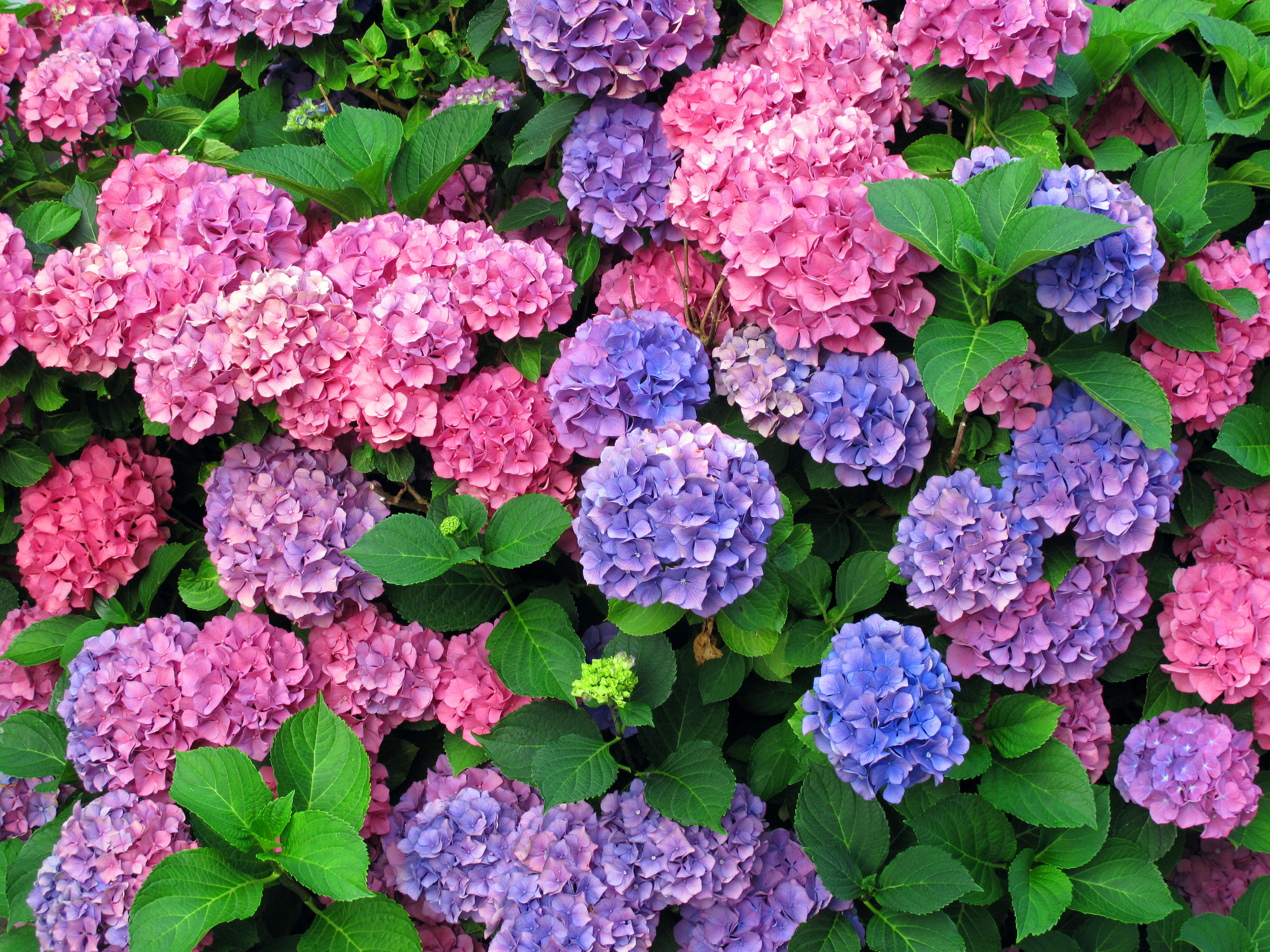 magnifazine hydrangeas, Beautiful flower