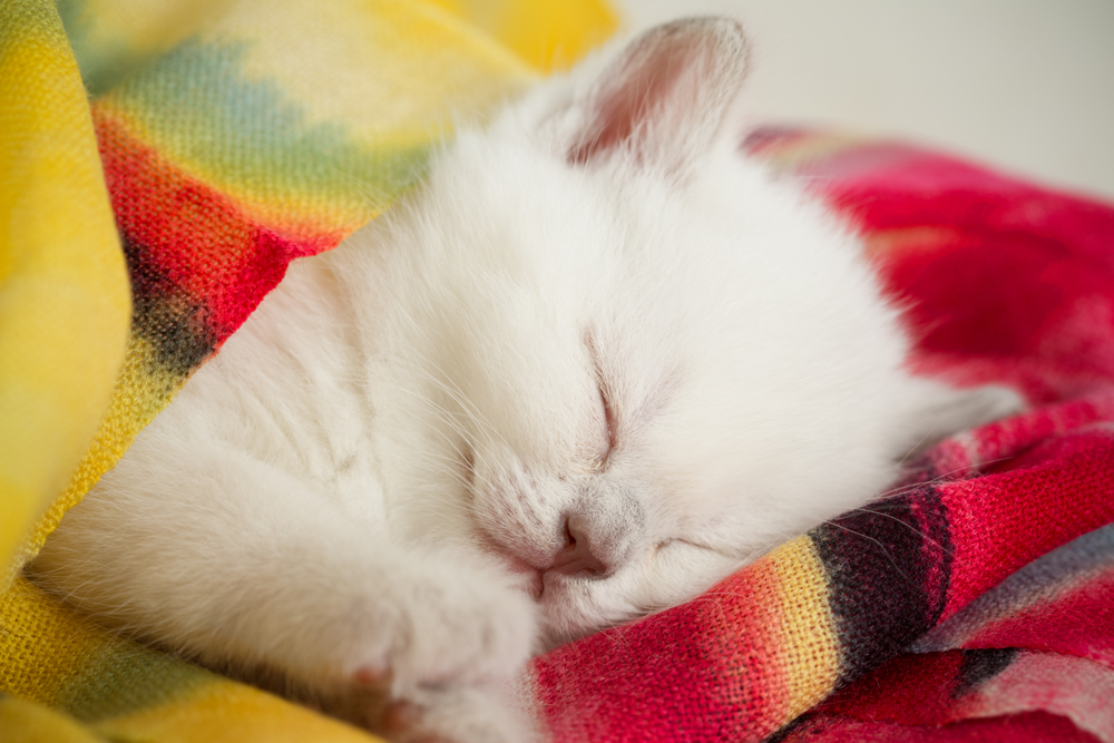 Pampered Pets Kitten Sleeping